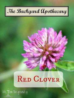 Red clover is pretty, but also a pretty useful herb to have around!