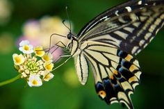 Lovely Swallowtail sipping nectar