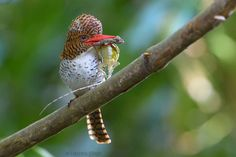 Banded Kingfisher with Flying Lizard