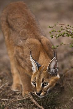 """The caracal is a medium sized cat which it spread in West Asia, South Asia, and Africa. The word Caracal is from Turkey """"Karakulak"""" which means """"Black Ears"""". Here is all about caracal as a pet. Caracal Caracal, Serval, Big Cats, Cats And Kittens, Cute Cats, Beautiful Cats, Animals Beautiful, Animals And Pets, Cute Animals"""