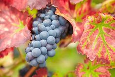 Noted for its pretty fall colors and the quality of its wine or fresh grapes, Vitis 'Regent' is a deciduous climbing shrub or vine producing sweet blue-black grapes early in the season. They can be eaten fresh from the vine or used for making wine. Cl