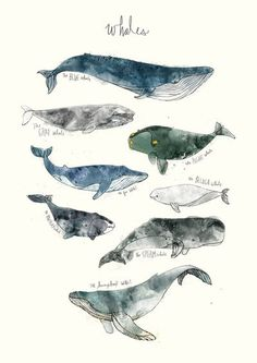 Animal chart featuring 8 types of whales: Humpback, Gray, Blue, Right, Bowhead… Types Of Whales, Framed Art Prints, Canvas Prints, Wall Prints, Whale Art, Illustration Art, Illustrations, Art Mural, Sea World