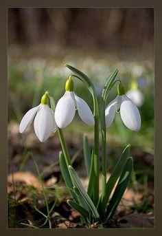 Snowdrops Flowers Nature, Spring Flowers, Wild Flowers, Daffodils, Tulips, Lilac Bushes, Winter Plants, Fotografia Macro, Garden Bulbs