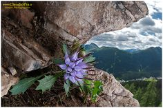 Physoplexis comosa, or buttercup rock, the most beautiful and rarest of the Dolomites Rock Flowers, Purple Flowers, Wild Flowers, Alpine Flowers, Alpine Plants, The Rock, Rock Garden Plants, Cacti And Succulents, Amazing Flowers