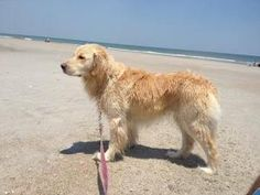 This is Gracie and she is 2 years old. She is an owner surrender due to a divorce. She is in good health and has been taken care of very well. She has good house manners, rides well in a car, gets along with other dogs and cats, is spayed and house trained. She tends to counter surf a bit. Gracie is an English Cream  Golden Retriever from excellent  breeding lines. She is looking for a forever home and is at GREAT Rescue of NE Florida.