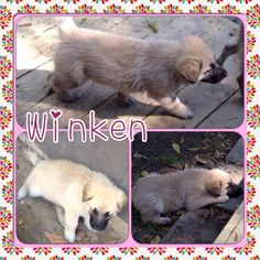 My name is Winken, and I'm the fluffiest of three curious German Shepherd mixes that wandered through woods and fields to the house of the mom of a K-9 Angel foster. Lucky us that Mary brought us in to the program. I am a reserved girl that stands back until I'm sure of the situation. I play well with my brother and sister, but my foster brother is a grouchy old man when I try to figure him out. I am about 8 weeks old and now weigh 12 lbs. I love to eat, rough house and sleep. I'm doing good…