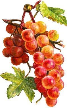 Glanzbilder – Victorian Die Cut – Victorian Scrap – Tube Victorienne – Glansbilleder – Plaatjes clipart - New Site Grape Painting, Fruit Painting, China Painting, Botanical Flowers, Botanical Art, Botanical Illustration, Watercolor Fruit, Watercolor Paintings, Grape Drawing