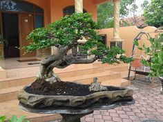 "In bonsai growing, the slanting style is one of several styles that are used to shape and ""train"" the bonsai tree. Bonsai Ficus, Bonsai Plants, Bonsai Garden, Garden Plants, Potted Trees, Flowering Trees, Plantas Bonsai, Live Plants, Art Of Living"