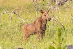 A Moose calf poses on the west side of Rocky Mountain National Park. (© Tony's Takes)