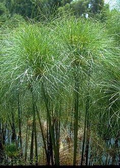 Fênix Plantas e Jardins: Lagos: Papiro-brasileiro