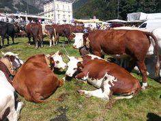 #cows #Oropa  Festa di San Bartolomeo #september