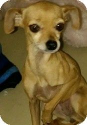 Meet Smoochie!! He's a chiweenie (chihuahua/wiener dog