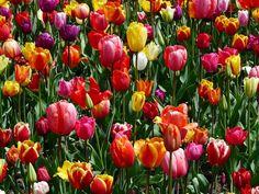Tulipanes, Tulpenbluete, Flores, Campo De Tulipanes