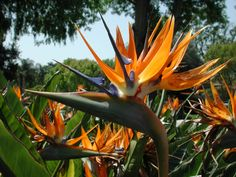 Strelitzia -Bird of Paradiise - perennial evergreen plants Exotic Plants, Exotic Flowers, Tropical Plants, Beautiful Flowers, Types Of Flowers, Types Of Plants, Birds Of Paradise Plant, Home Garden Plants, Container Flowers