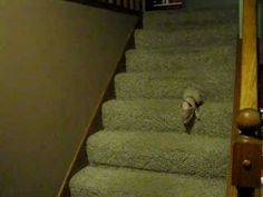 Hamlet, the mini-pig, goes downstairs to eat oatmeal.