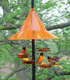Orioles eat under the protection of an orange baffle from our 5425 Orange Dish Feeders, Set of Oriole Bird Feeders, Humming Bird Feeders, Bird House Feeder, Diy Bird Feeder, Bird Feeding Station, Homemade Bird Feeders, Bird House Kits, Bird Houses Diy, Birds And The Bees