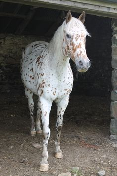 pretty appaloosa ...........click here to find out more http://googydog.com