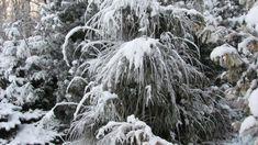 Что делать в саду зимой  Хвойные и гортензия