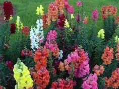 #MELLIFERES MUFLIER #plantes / selon les variétés : de 15 cm à 1,2 m floraison très abondante du printemps à l'automne / très appréciées des abeilles / annuelle ou bisannuelle