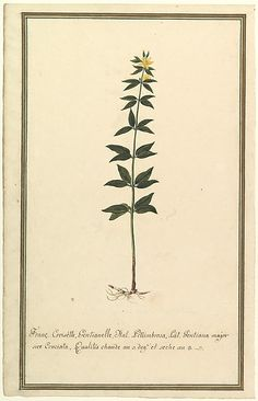 Botanical Study of a type of Yellow Gentian (genus Gentiana Major) (recto); Botanical Study of the Ascyrum Hypericoides (verso)