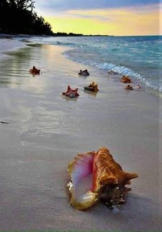 Conch shells on a beautiful beach Ocean Scenes, Beach Scenes, Sea And Ocean, Ocean Beach, Playa Beach, Shell Beach, Photos Voyages, Jolie Photo, Ocean Life
