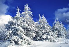 pines covered with snow