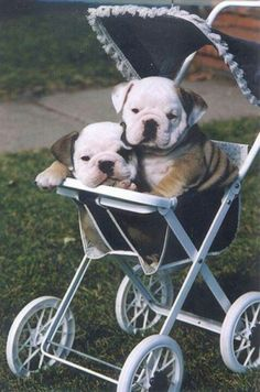 bulldog puppies in stroller ___ Dogs Lover?? Visit our website now! :-)