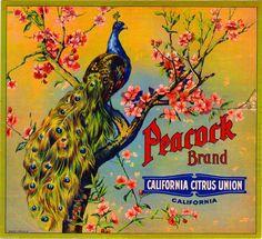 Riverside Peacock Bird Orange Citrus Fruit Crate Label Vintage Art Print | eBay
