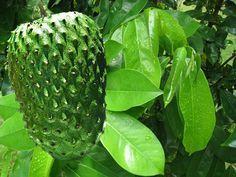 La naturaleza siempre ha aportado beneficios al organismo, pero esta planta les gano a las demas, ya que puede llegar a curar el cáncer