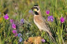 Male Horned Lark or Shore Lark (Eremophila alpestris) with mouthful of insects he is taking back to his young in the nest. Western U. Exotic Birds, Colorful Birds, Bird Barn, Barn Owls, Hawk Bird, Flamingo Bird, Snowy Owl, Little Birds, Blue Bird