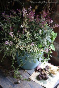 ピンクのアガスターシェ寄せ植え  フローラのガーデニング・園芸作業日記