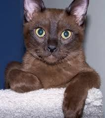 Image result for BURMESE CATS