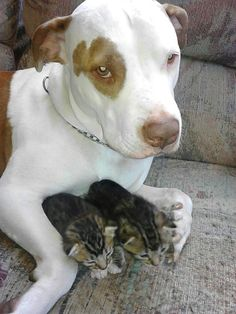 Pitbull looking after kittens. Too cute!!