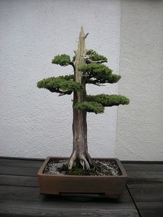 Try this instead: Bonsai Juniper Tree! Features - 3 years old specimen, - tall - Great bonsai tree for the beginner - Tolerates many adverse conditions, hardy tree Please allow days for shipping. Bonsai Acer, Juniper Bonsai, Bonsai Plants, Bonsai Garden, Juniper Tree, Plantas Bonsai, Ikebana, Mini Plantas, Bonsai Styles