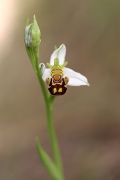 """""""Ophrys apifera"""" 