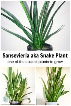 """Perfect for beginners or those who fear a """"black thumb,"""" this easy to grow houseplant commonly known as a snake plant is one that thrives in many situations despite what you may do. Easy To Grow Houseplants, Easy Plants To Grow, African Spear, Sansevieria Trifasciata, Fertilizer For Plants, Snake Plant, Potting Soil, Seed Starting, Tropical Plants"""
