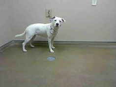 *ZELDA - ID#A741897  Shelter staff named me ZELDA.  I am a female, white Labrador Retriever mix.  The shelter staff think I am about 1 year ...