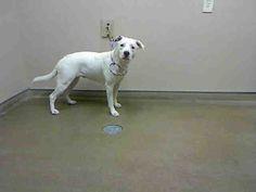*ZELDA-ID#A741897  Shelter staff named me ZELDA.  I am a female, white Labrador Retriever mix.  The shelter staff think I am about 1 year ...