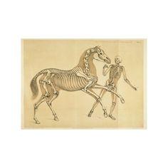 "Human and Horse Skeleton Illustration - Benjamin Hawkins - Giclée - Print 13"""