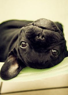 Cute upside down black Frenchie. - http://animalfunnymemes.com/cute-upside-down-black-frenchie/