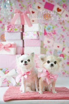 ロコちゃん・アロハちゃん:GMC x くまこ #chihuahua Chihuahua Love, White Dogs, Chihuahuas, Nature Animals, Animal Party, Fur Babies, Cute Animals, Teddy Bear, Dalmatians