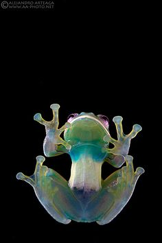 Transparency is a trait shared by all living glass frogs. In some species though, such as the Condor Glass Frog, the ventral peritoneum is white anteriorly, obscuring thus the heart and liver. Photo by Alejandro Arteaga.