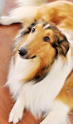 There's no love quite like that of a rough collie. So, can you relate?