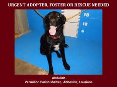 ***SUPER URGENT!!!*** - PLEASE SAVE ABDULLAH!! - EU DATE: 9/24/2014 -- Abdullah Breed:Labrador Retriever (mix breed) Age: Adult Gender: Male Size: Large --  If you have any questions please contact us at animalaidvermilion@gmail.com or (337) 366-0212 or visit our website animalaidvermilionarea.com for more information