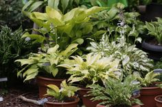 Great idea to put hostas in pots!