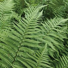 Dryopteris affinis Green Life, Cactus Plants, Plant Leaves, Garden, Plants, Cacti, Cactus