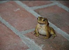 Magnificent toad
