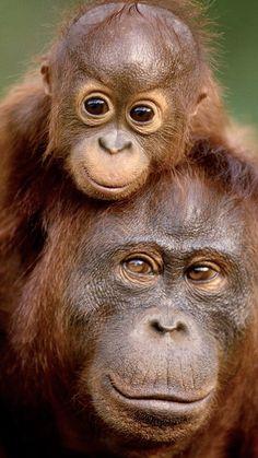 When the eyes tell tales Amazing Animal Pictures, Cute Animal Pictures, Cute Baby Animals, Animals And Pets, Funny Animals, Baby Orangutan, Chimpanzee, Animal Magic, Tier Fotos