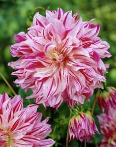 Dahlia 'Bristol Stripe' Feed with GrowBest from http://www.shop.embiotechsolutions.co.uk/GrowBest-EM-Seaweed-Fertilizer-Rock-Dust-Worm-Casts-3kg-GrowBest3Kg.htm