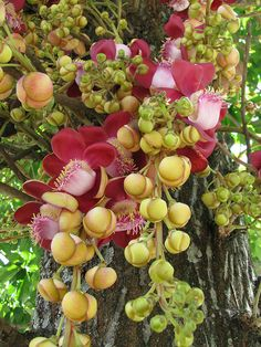 Couroupita guianensis - Canon Ball Tree - Couroupita guianensis, known by… Planting Flowers, Fruit Trees, Amazing Flowers, Beautiful Flowers, Tropical Flowers, Beautiful Tree, Flowers Nature, Deciduous Trees, Flowering Trees